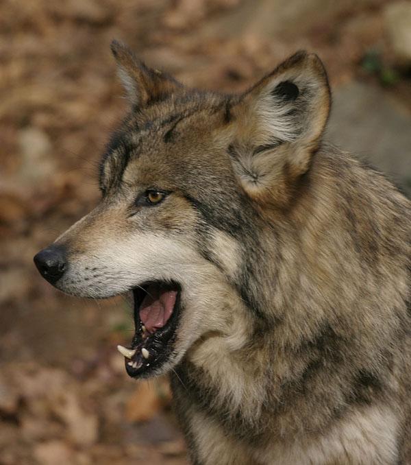 Зевающее зверьё :) (43 фото)