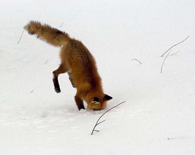 Лисицы (60 фото)