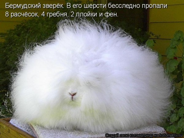 Шутка селекционера.  English Angora Rabbit.